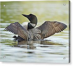 Loon Wing Spread With Chick Acrylic Print