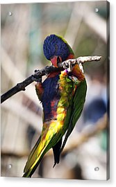 Lorikeet Bird Acrylic Print by Marilyn Hunt