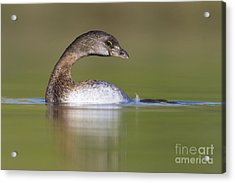 Acrylic Print featuring the photograph Loss-neck Grebe by Bryan Keil