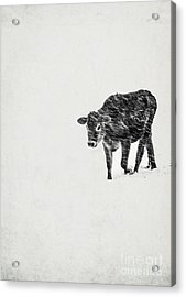 Lost Calf Struggling In A Snow Storm Acrylic Print by Edward Fielding