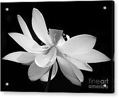 Lotus Ballerina Acrylic Print by Sabrina L Ryan