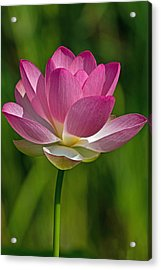 Acrylic Print featuring the photograph Lotus Bloom by Jerry Gammon