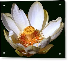 Acrylic Print featuring the photograph Lotus Blossom #2 by Jim Whalen