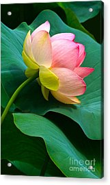 Lotus Blossom And Leaves Acrylic Print