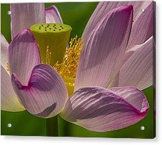 Lotus Blossom Closeup Acrylic Print