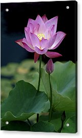 Acrylic Print featuring the photograph Lotus Blossom by Penny Lisowski