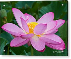 Lotus Dew Acrylic Print by Dale Nelson