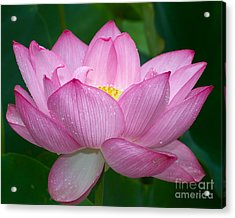 Lotus Drops Acrylic Print by Dale Nelson