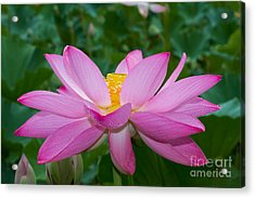 Lotus Flower 2 Acrylic Print by Dale Nelson