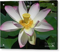 Acrylic Print featuring the photograph Lotus Flower by Chrisann Ellis