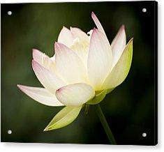 Lotus Glow Acrylic Print
