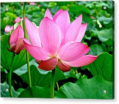Lotus Heaven - 68 Acrylic Print by Larry Knipfing