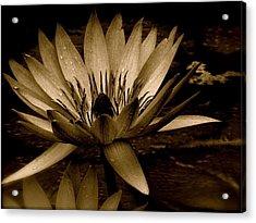 Lotus II Acrylic Print by Kim Pippinger