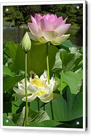 Lotus In Bloom Acrylic Print by John Lautermilch