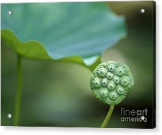 Lotus Leaf And A Seed Pod Acrylic Print
