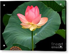 Lotus Of Late August Acrylic Print
