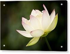 Acrylic Print featuring the photograph Lotus by Priya Ghose