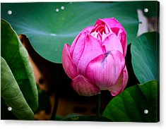 Lotus Singapore Flower Acrylic Print by Donald Chen