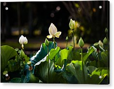 Lotuses In The Evening Light Acrylic Print by Jenny Rainbow