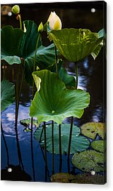 Lotuses In The Evening Light. Vertical Acrylic Print by Jenny Rainbow