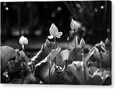 Lotuses In The Pond. Black And White Acrylic Print by Jenny Rainbow