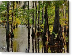 Louisiana Cypress Swamp Acrylic Print