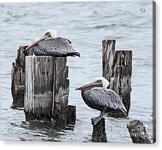Louisiana Pelicans On Lake Ponchartrain Acrylic Print