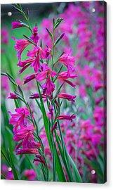 Louisiana Pink Iris Fulva Acrylic Print by Ester  Rogers