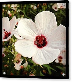 Louisiana Wild Flower  Acrylic Print