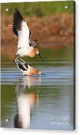 Acrylic Print featuring the photograph Love Avocet Style by Ruth Jolly