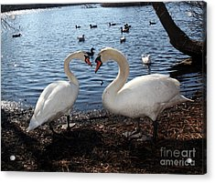 Love Bird Swans Acrylic Print