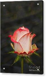 Love Is A Rose II Acrylic Print