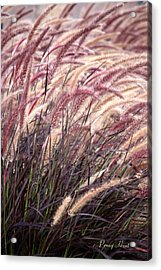 Love Purple Fountain Grass Acrylic Print by Penny Hunt