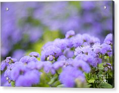 Lovely Blue Mink With Lavender Tones In Soft Focus Acrylic Print
