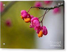 Lovely Colors - European Spindle Flower Seeds Acrylic Print