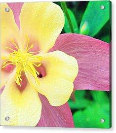 Lovely Columbine Flower Acrylic Print
