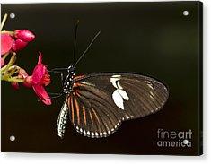 Lovely Longwing Acrylic Print by Bryan Keil