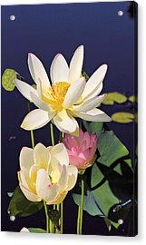 Lovely Lotus Acrylic Print by Katherine White