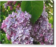 Lovely Luscious Lilacs Acrylic Print