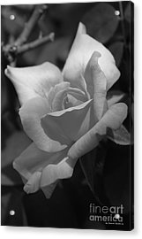 Lovely Rose Acrylic Print by Tannis  Baldwin