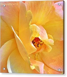 Lovely Yellow And Peach Rose Acrylic Print
