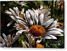 Loves Me Loves Me Not Acrylic Print