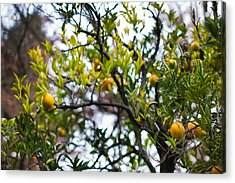 Low Angle View Of An Orange Tree Acrylic Print