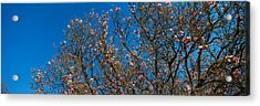 Low Angle View Of Cherry Trees Acrylic Print by Panoramic Images
