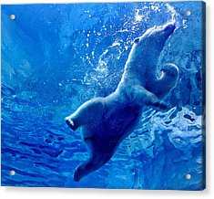 Low Angle View Of Polar Bear Swimming Acrylic Print by Yumeng Lin / Eyeem