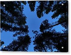 Low Angle View Of Ponderosa Pine Acrylic Print
