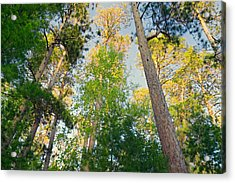 Low Angle View Of Red Pine Trees Acrylic Print