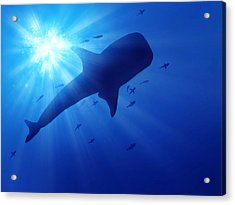 Low Angle View Of Whale Swimming In Sea Acrylic Print by Stijn Dijkstra / Eyeem