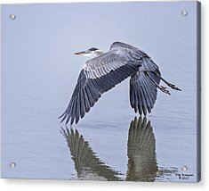 Low Flying Heron Acrylic Print