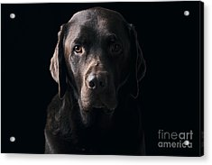 Low Key Chocolate Labrador Acrylic Print by Justin Paget